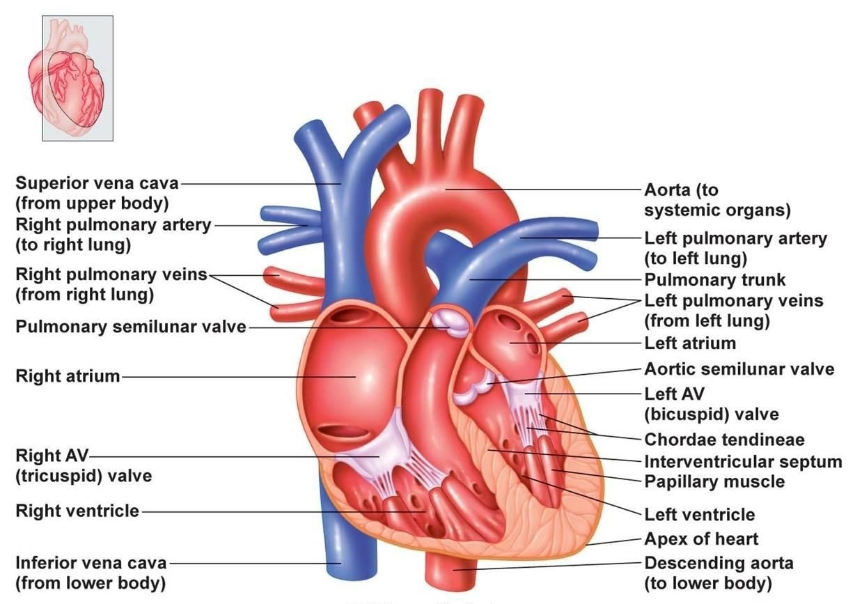 Nasm Cpt Study Guide Chapter 3 The Cardiorespiratory System