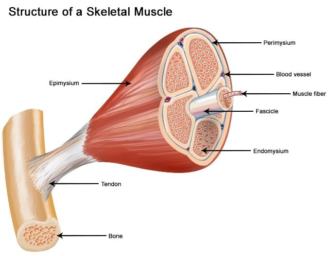 Skeletal Muscle Pic